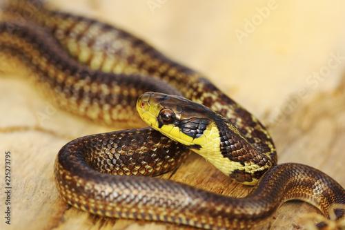 beautiful juvenile aesculapian snake