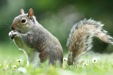Grey Squirrel Eating Nut In The Park
