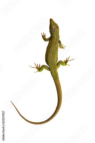 isolated common green lizard