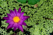 Purple lotus in water with green leaves.