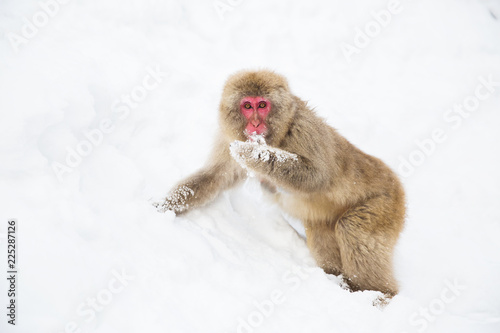 animals, nature and wildlife concept - japanese macaque searching and eating food in snow at jigokudan monkey park