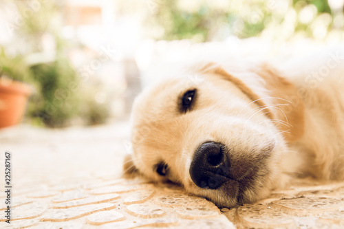 Fotografía  Close-up of a lying puppy dog.Puppy looking at the camera