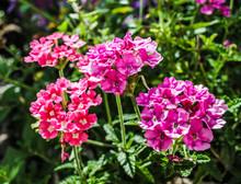 Pink Verbena In The Garden