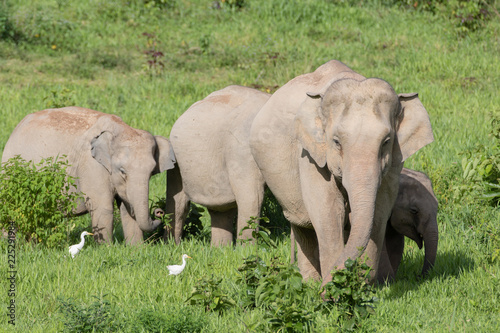 Canvas Prints Elephant Asiatic Elephant is big five animal in asia