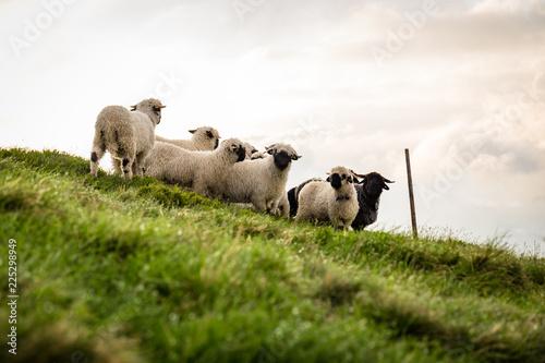 Fotografía  Eine Herde Schafe auf einer Wiese am Berg