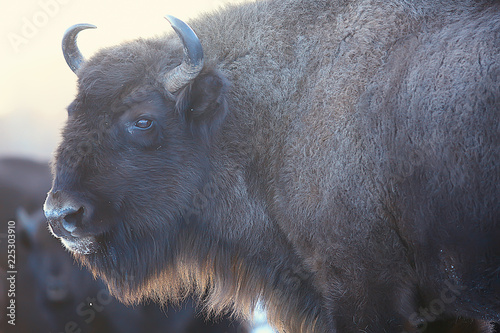 Obraz na plátně  Aurochs bison in nature / winter season, bison in a snowy field, a large bull bu