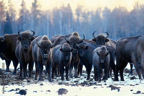 Photo  Aurochs bison in nature / winter season, bison in a snowy field, a large bull bu