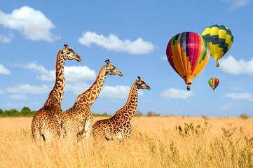 Group giraffe in National park of Kenya with air balloon
