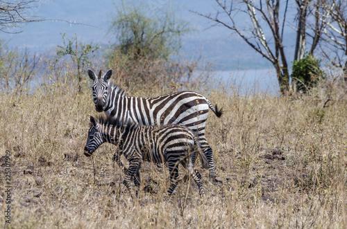 Foto op Plexiglas Zebra Zebra mother and foal