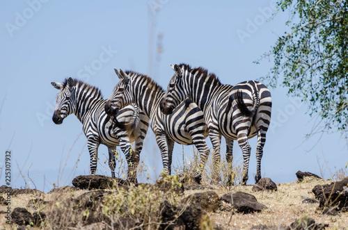 Tuinposter Zebra Zebras standing on hilltop
