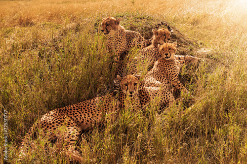 Group of leopards resting in bushes in savanna.