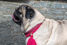 Pug In Anticipation Of The Host Team With Raspberry Leash And Decoration. Training Of Dogs. Pets