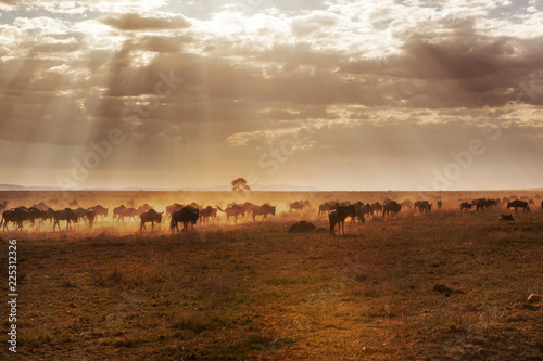 Fotomural  Large group of african buffalos in savanna.