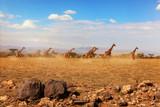 Fototapeta Sawanna - Group of giraffes running on savanna.