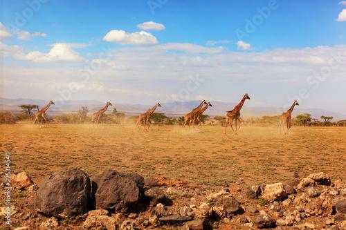 Fotomural  Group of giraffes running on savanna.