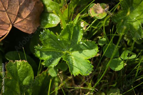 Fotobehang Macrofotografie Green leaf in the dew on the grass, macro