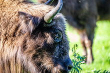 A Beautiful Wisent In Holland