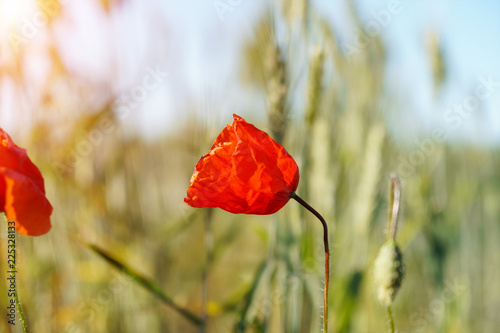 Poster Klaprozen Poppy flowers field. Rural landscape with red wildflowers