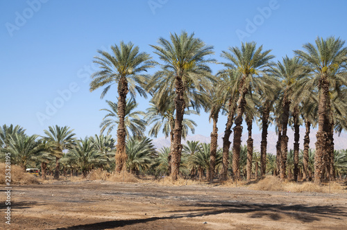 Photo Stands Roe Palm Trees in the desert