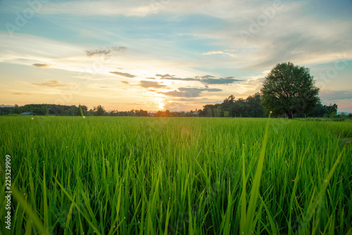 View of green rice field in evening time
