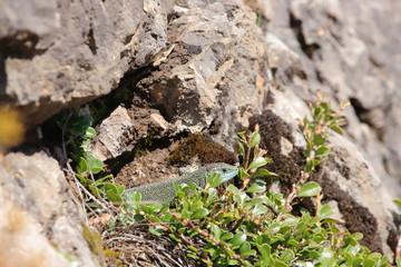 Western green lizard hidden in his shelter, Lacerta bilineata specie