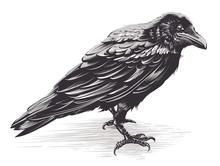 Vector Crow Art On White