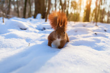 Red Squirrel In Snowy Forest Looking At Camera