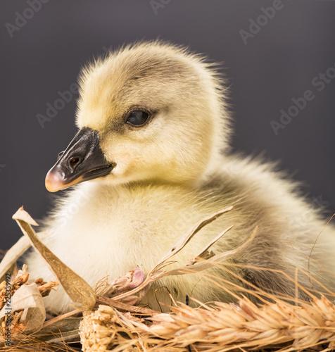 Cute little gosling