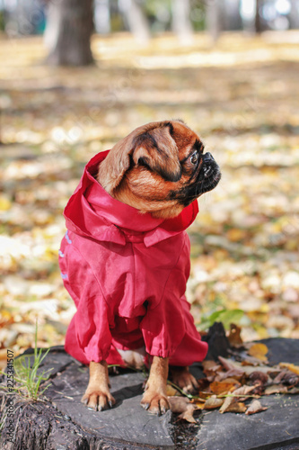 Dog small brabanson with chestnut color wearing in red overall at autumn park