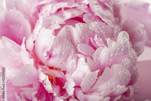 peony with drops of dew