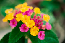 Pink And Yellow Lantana Camara Flower With Green Leaves Background