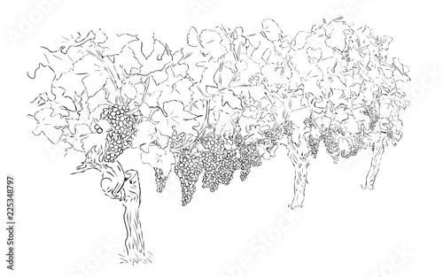 Fotografie, Obraz  Grapes in Winery Yard.