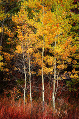 Obraz na SzkleAutumn Aspen Trees Fall Colors Golden Leaves and White Trunk Maple Red