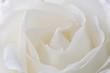 Leinwandbild Motiv close up of beautiful white rose flower