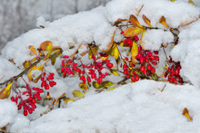 Branch Of  Barberry With Red B...
