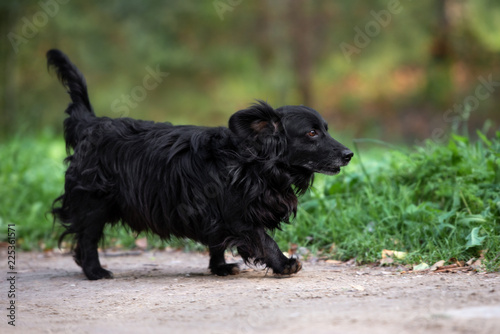Foto  small black mixed breed dog walking outdoors