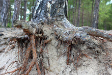 Bared (exposed) Root Of Pine Tree On Sandy Soil