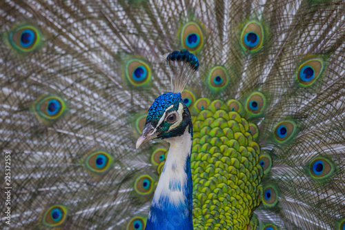 Fotobehang Pauw horizontal image with detail of a beautiful male peacock that makes the wheel and shows its colorful plumage