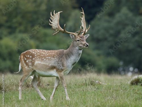 Fototapeta Fallow deer (Dama dama) obraz