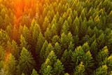 Fototapeta  - Aerial view on a pine forest on sunset