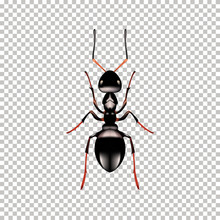 Realistic Ant Top View Isolated On  Transparent Background. Vector Illustration Of Realistic  Ant. Can Be Used As Insect Symbols.