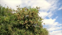 Dry Seed Pods On Acacia Tree Outside Of Andalusian Village Of Alora