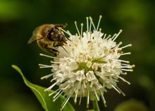 Honey Bee On Buttonbush