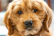 Groodle Goldendoodle Puppy