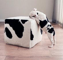 Black And White Bulldog Puppy Dog Leans On Cow Hide Ottoman Square Furniture.