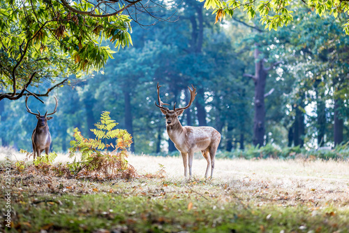 Poster Cerf Fallow deer in Richmond park in the autumn, London