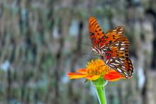 Two Viceroy Butterflies Sittin...