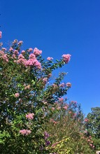 Blooming Crepe Myrtle Against A Blue Sky