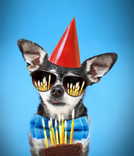 Cute Chihuahua With His Tongue Poking Out Wearing A Bow Tie And Sunglasses And Birthday Hat On An Isolated Blue Background