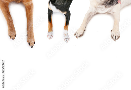 Fotografie, Obraz  top view of a pug and chihuahuas sprawled out on an isolated white background